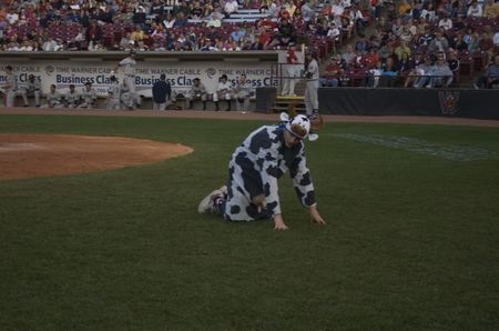 timber rattlers -- cow awaits tipping.JPG