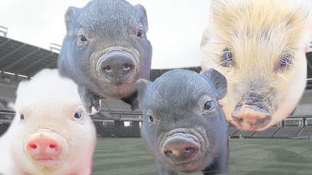 pigs.jpeg