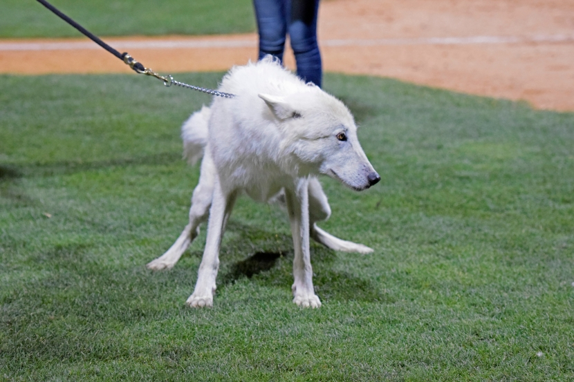 Flurry, an artic wolf from the Wild Spirit Wolf Sanctuary, relieves himself on the field prior to the ninth inning. (Robert M Pimpsner/Pinstriped Prospects)